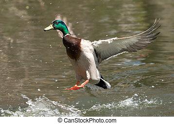 Duck landing on water - Mallard duck with spread wings...