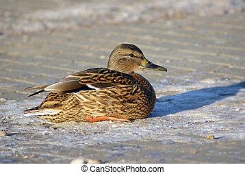 Duck mallard sits