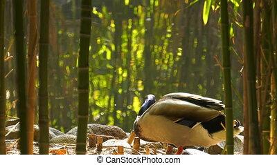 Duck near the Green Lake