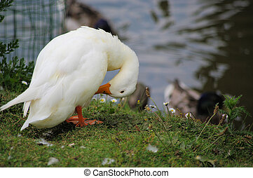 Duck nursing