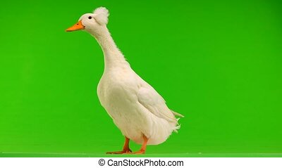 duck  on a green screen