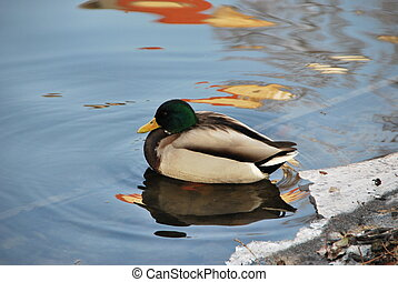 Duck on an icy pond