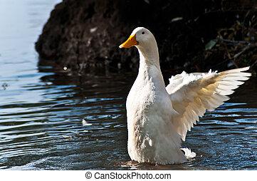 Duck on lake 2