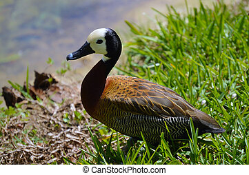 Duck on lake. White-faced whistling