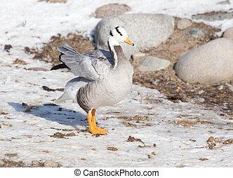 duck on snow in winter