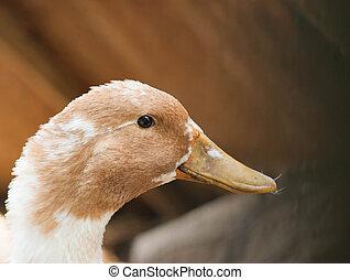 Duck on the farm