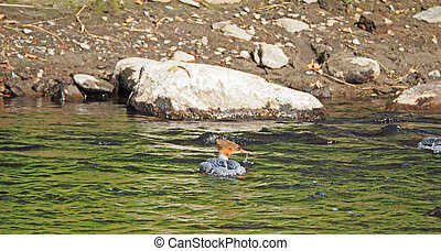 Duck on the river