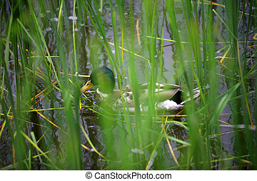 duck on water in the grass