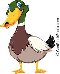 Duck on white background