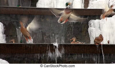 duck on winter waterfall fly out