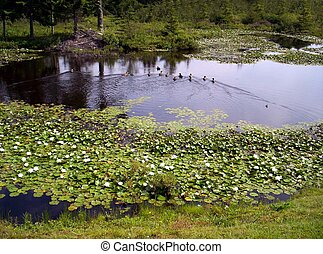 duck pond lilypads and ducks swimming with the reflection of the trees on the water Dublinshore Lunenburg County Nova Scotia canada