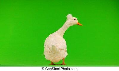 duck quack on a green screen