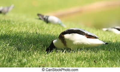 Duck rows and eats grass with mud