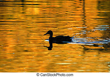 Duck swimming on a golden pond of water