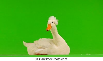 duck sitting on a green screen