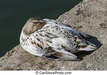 duck sleeping on lake