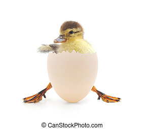 duck - Little duck coming out of an egg