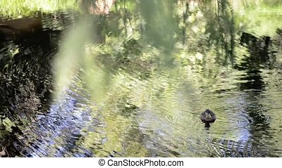 Duck swimming in a pond at summer