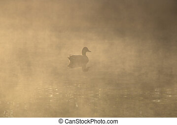 Duck swimming in fog on a lake