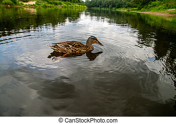 Duck swimming in the river in Latvia - Duck swimming in the...