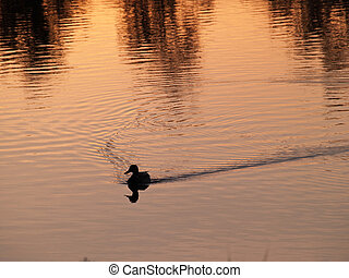 Duck swims at sunset on country pond