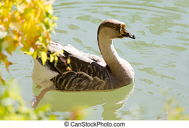 duck swims in the lake