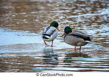 Duck walking on the lake in winter