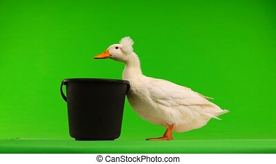 duck wants to drink water from the bucket on a green screen