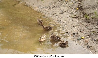 Duck with a brood of ducklings in shallow water. Ducks on ...