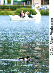 duck with a swan pedal boat
