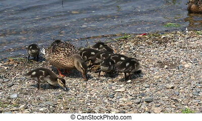 Duck with ducklings feed