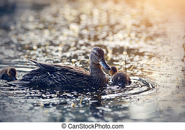 Duck with ducklings float in the evening in the lake