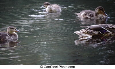Duck with ducklings on walk floating in the pond water in sunny day. Harmony of nature.