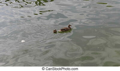 Duck with ducklings on walk floating in the pond water.