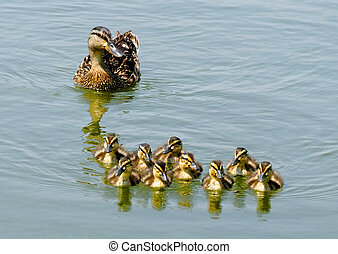 Duck with Ducklings - A mother duck with nine ducklings...