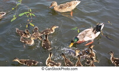 Duck with ducklings swimming
