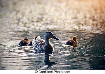 Duck with ducklings swims in the evening in the lake.