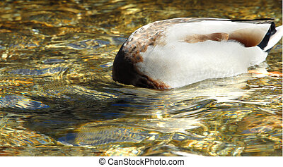 "Ducking His Head - This bashful Mallard is ""ducking his..."
