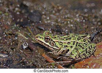 Ducking Northern Leopard Frog