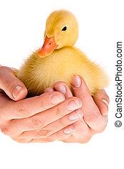Duckling in human hands