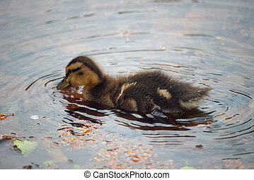 Duckling looking for food in a pond