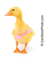 duckling with pink ribbon on white background