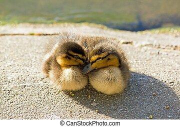 Ducklings, mallard, mutual comfort (France)
