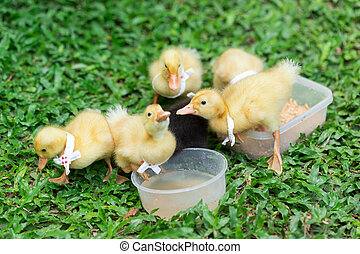 Ducklings with yellow Many cute ones Relaxing on the lawn
