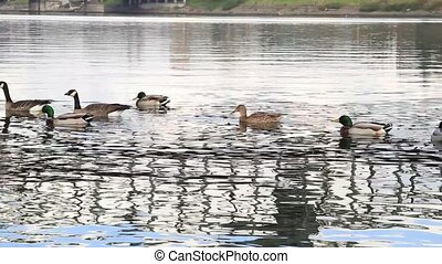 Ducks and Canada Geese Swimming
