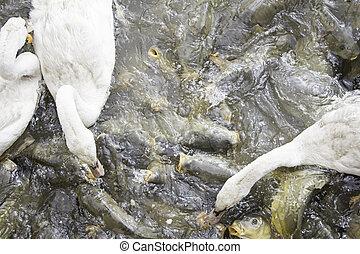 Ducks and carps