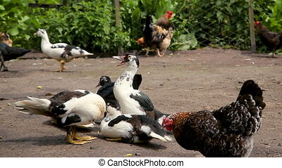 Ducks and chicken at the farm poultry yard