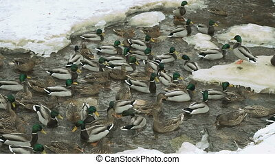 Ducks and drakes swim in a creek a cold winter