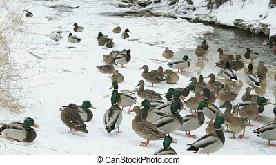 Ducks and drakes swim in the red creek a cold winter