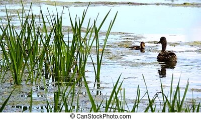 Ducks and ducklings swimming in the water in the wild, mallard in the swamp